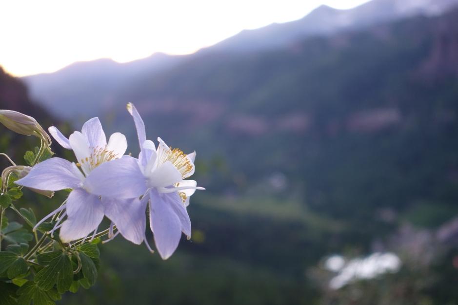 Wildflowers - Telluride